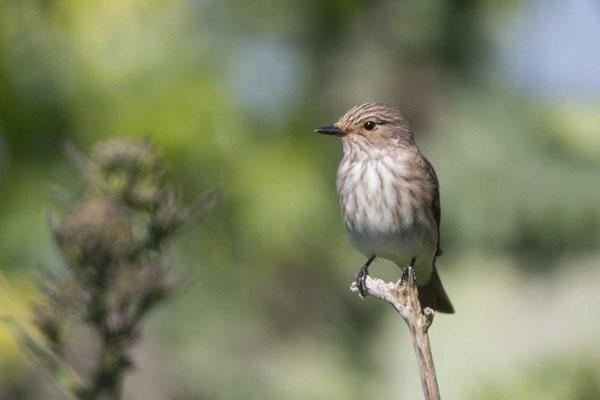 Grauschnäpper (Muscicapa striata) - Spotted Flycatcher - 3