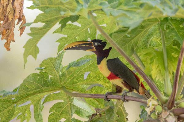 Braunohrarassari (Pteroglossus castanotis) - 2