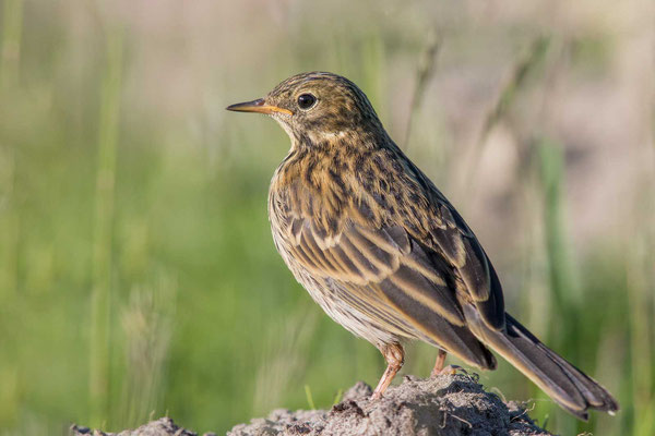 Wiesenpieper (Anthus pratensis) - Meadow Pipit - 3