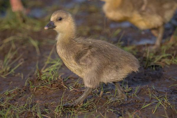Graugans, Anser anser, Greylag goose - 5