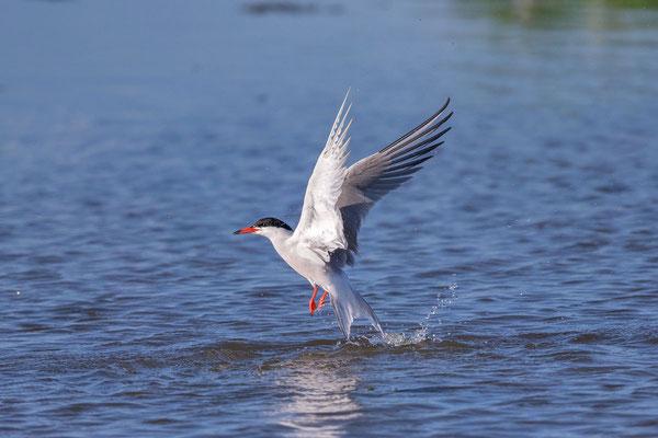 Fluss-Seeschwalbe (Sterna hirundo) - 6