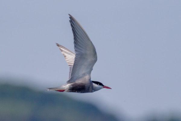 Weißbart-Seeschwalbe (Chlidonias hybrida) - 4