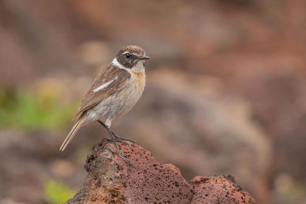 Männlicher Kanarenschmätzer (Saxicola dacotiae) auf der Insel Fuerteventura.