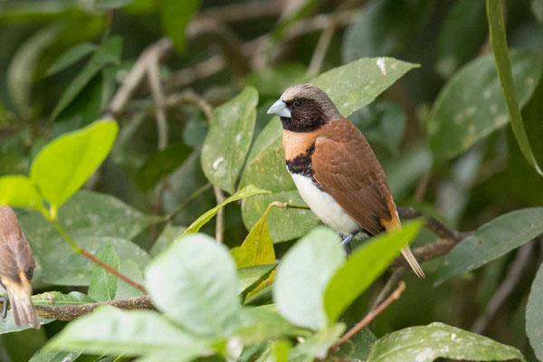 Braunbrust-Schilffink, Chestnut-breasted mannikin, Lonchura castaneothorax - 5