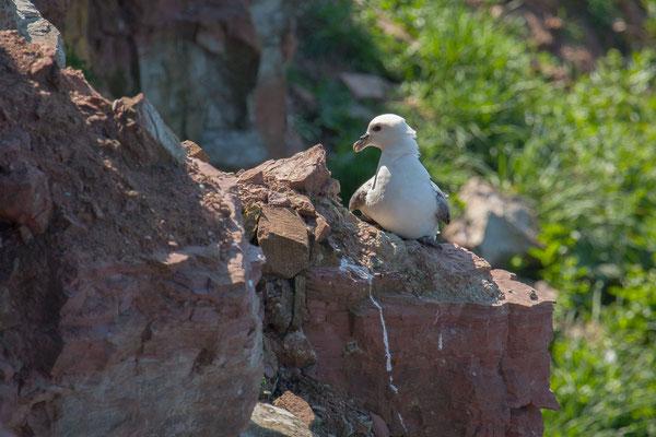 Eissturmvogel (Fulmarus glacialis) - 5