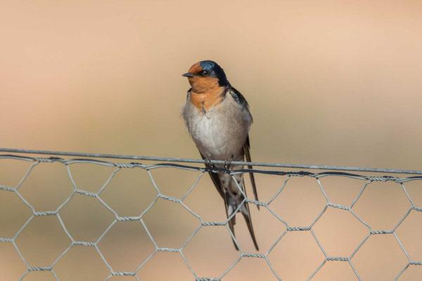 Glücksschwalbe,  Hirundo neoxena, Welcome Swallow - 1