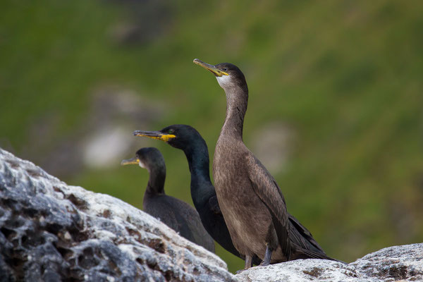 Krähenscharbe (Phalacrocorax aristotelis) - 6