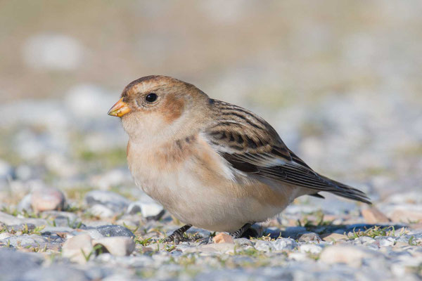 Schneeammer (Plectrophenax nivalis) - Snow Bunting - 3