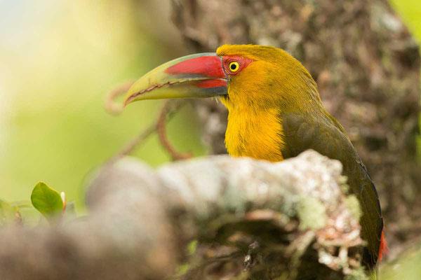 Goldtukan (Pteroglossus bailloni) - 3