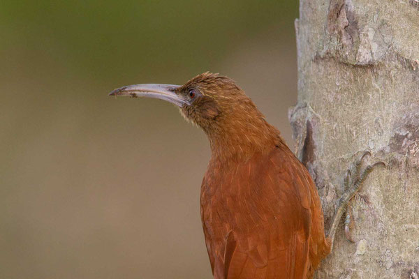 Fuchsroter Baumsteiger (Xiphocolaptes major) - Great Rufous Woodcreeper - 1