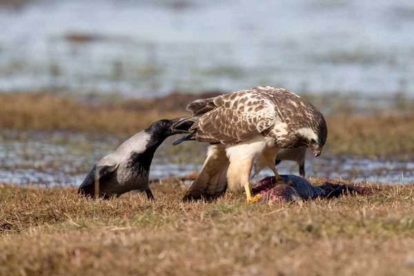 Nebelkrähe (Corvus corone) - 11
