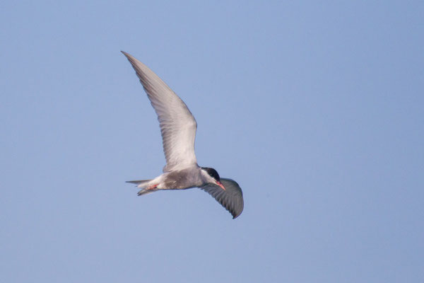 Weißbart-Seeschwalbe (Chlidonias hybrida) - 2