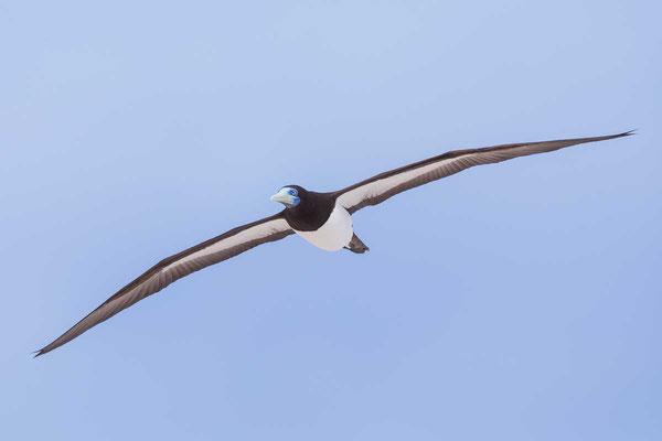 Weißbauchtölpel (Sula leucogaster) - Brown booby - 6
