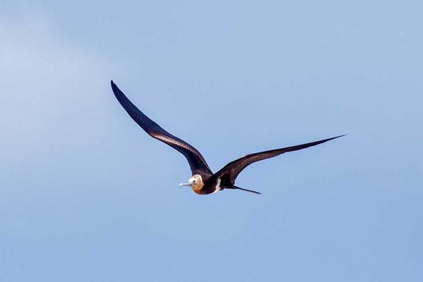 Arielfregattvogel  Lesser frigatebird, Fregata ariel - 1