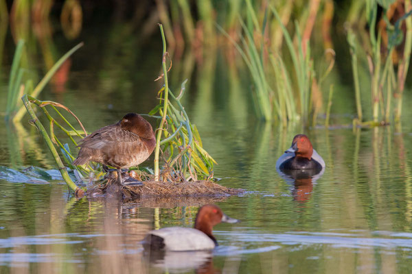 Tafelente, Common Pochard, Aythya ferina- 3