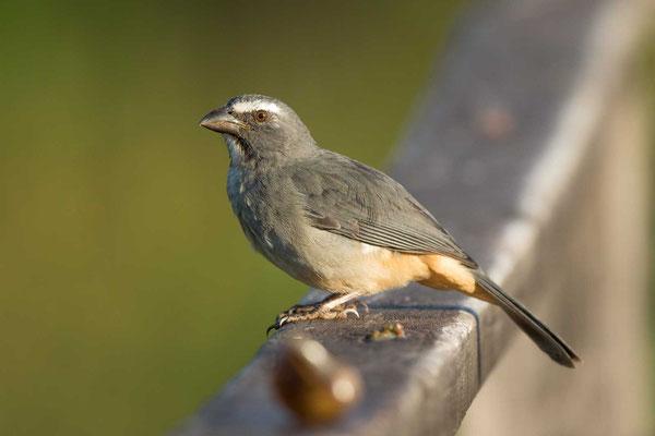 Grausaltator (Saltator coerulescens) - Greyish Saltator - 1