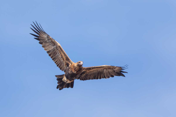 Keilschwanzadler, Wedge-tailed Eagle, Aquila audax - 3