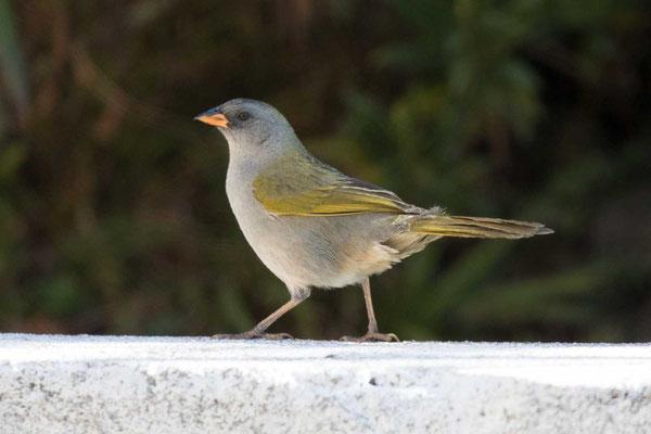 Pampaammer (Embernagra platensis)-Pampa Finch - 2
