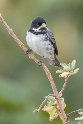 Schmuckpfäffchen (Sporophila caerulescens) - Double-collared Seedeater - 2