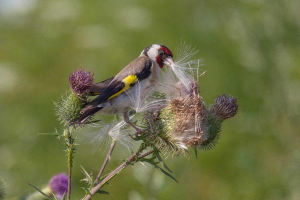 Stieglitz (Carduelis carduelis) - Goldfinch - 3