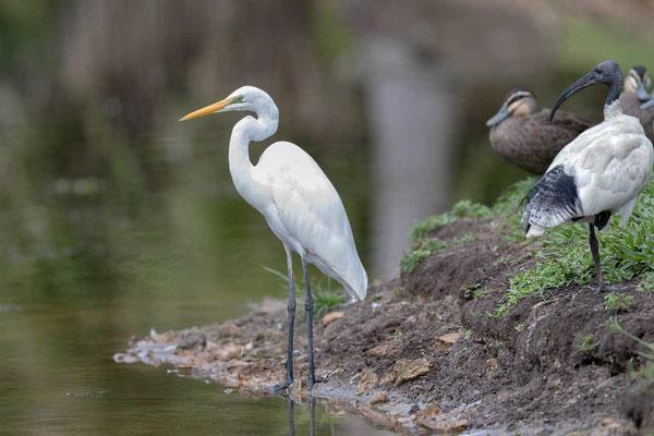östlicher Silberreiher (Ardea modesta) - Eastern great egret - 5