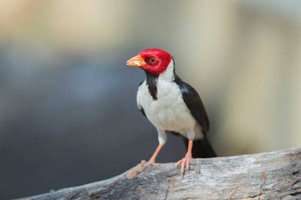 Mantelkardinal (Paroaria capitata) - Yellow-billed Cardinal - 1