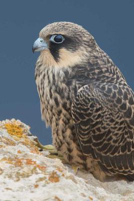Junger Eleonorenfalke (Falco eleonorae)  der hellen Morphe.