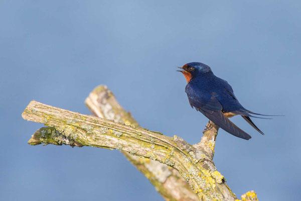 Rauchschwalbe, Hirundo rustica, Barn Swallow - 8