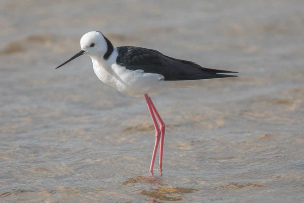 Weißgesicht-Stelzenläufer (White-headed stilt)-cc-4