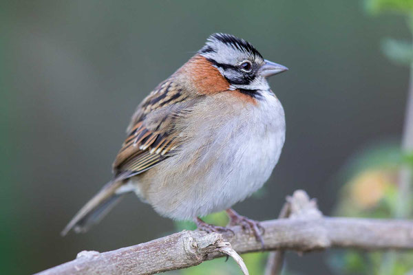 Morgenammer (Zonotrichia capensis) - Rufous-collared sparrow - 6
