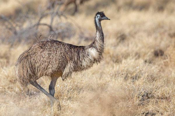 Emu (Dromaius novaehollandiae) - 3