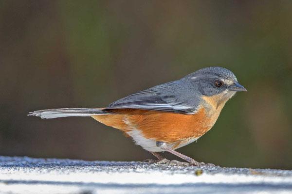 Rotbürzel-Ammerfink (Poospiza lateralis) - Buff-throated Warbling-finch - 3