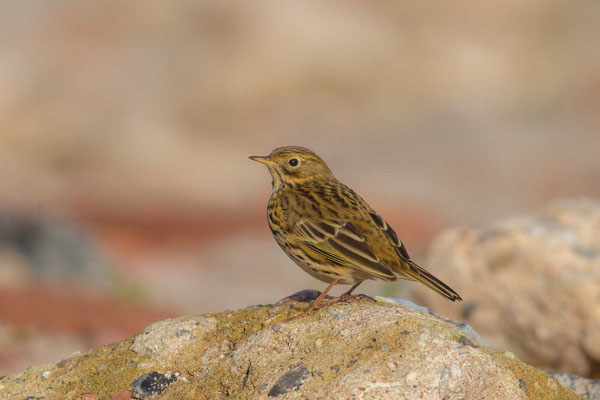 Wiesenpieper (Anthus pratensis) - Meadow Pipit - 5