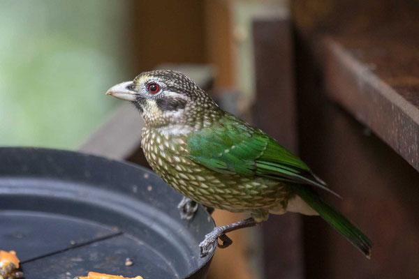 Schwarzohr-Laubenvogel (Ailuroedus melanotis) - 2