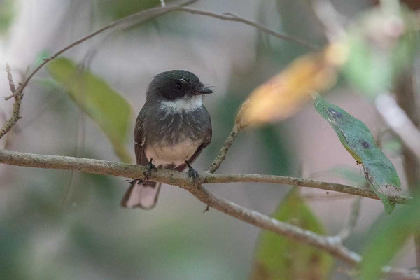 Strichelfächerschwanz, Northern Fantail, Rhipidura isura - 1