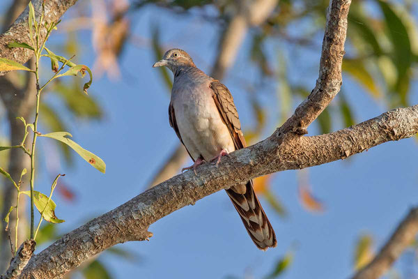 Kupfernackentaube (Geopelia humeralis) - Bar-shouldered dove - 4