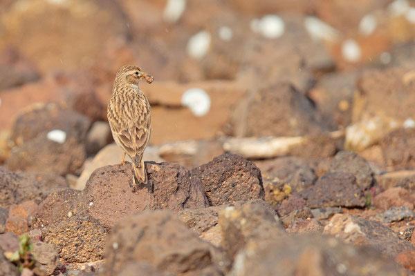 Stummellerche (Calandrella rufescens) in der Steppe vin Tindaya auf der Insel Fuerteventura.