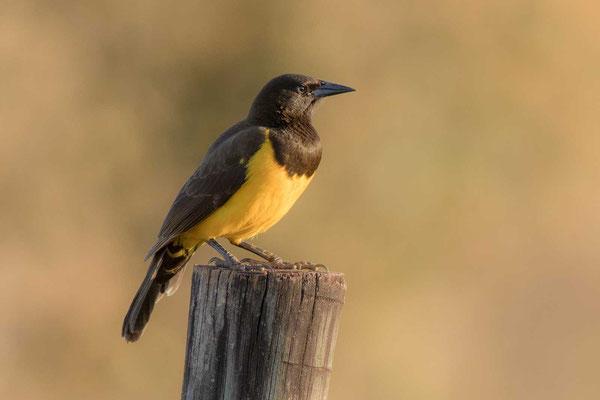 Gelbbürzelstärling (Pseudoleistes guirahuro) - Yellow-rumped Marshbird - 1