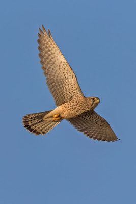 Männlicher Turmfalke (Falco tinnunculus) - 6