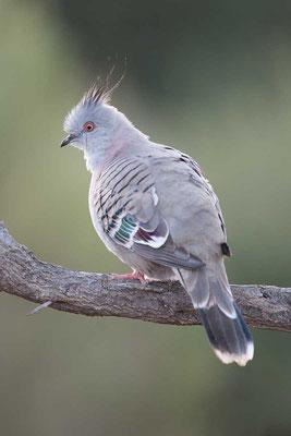 Spitzschopftaube (Ocyphaps lophotes) - Crested pigeon - 2