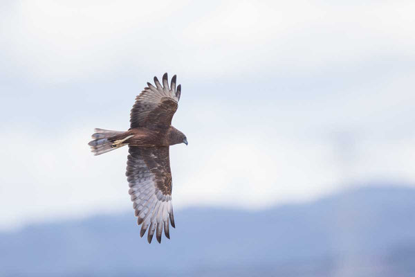 Sumpfweihe, Swamp Harrier, Circus approximans - 4