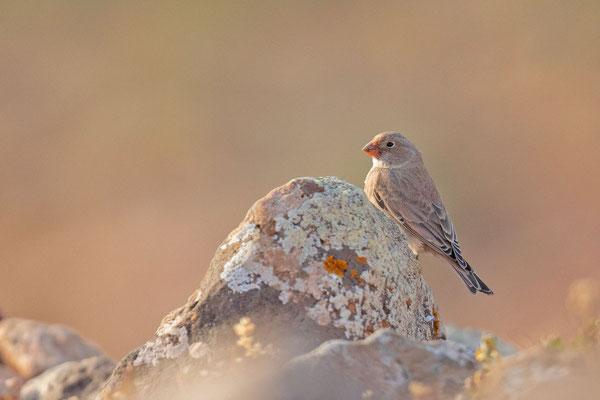 Männlicher Wüstengimpel (Bucanetes githagineus) auf der Kanareninsel Fuerteventura.