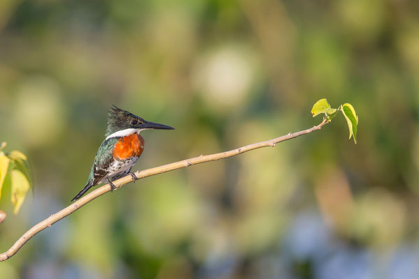 Grünfischer (Chloroceryle americana) - Green kingfisher - 1