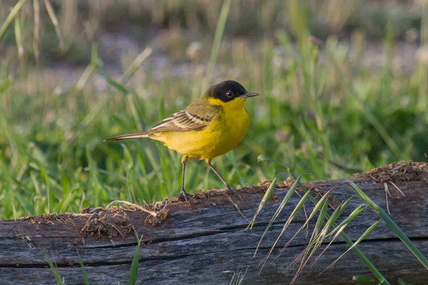 Masken Schafstelze (Motacilla flava feldegg) - Black-headed Yellow Wagtail