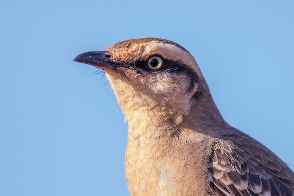 Camposspottdrossel (Mimus saturninus) - Chalk-browed Mockingbird - 5