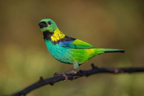 Dreifarbentangare (Tangara seledon) - Green-headed Tanager - 4