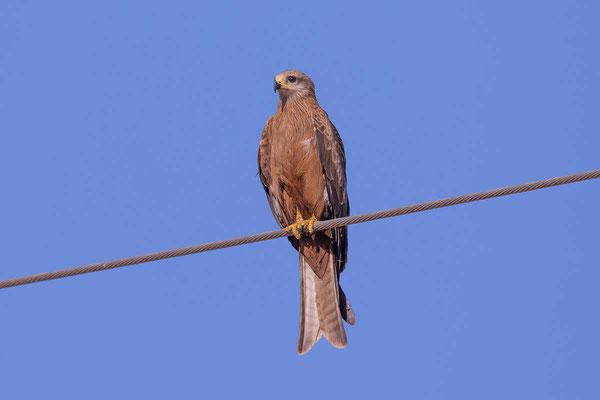 Schwarzmilan,  Black kite, Milvus migrans - 5