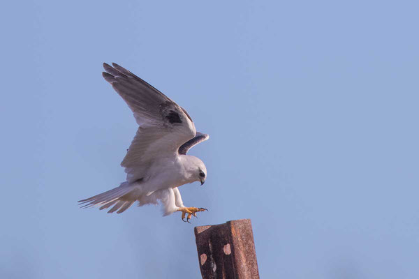 Australischer Gleitaar, Black-shouldered Kite, Elanus axillaris - 8