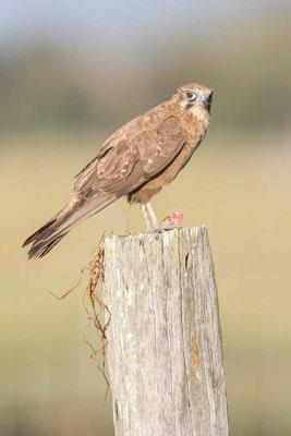 Habichtfalke, Brown falcon, Falco berigora - 5