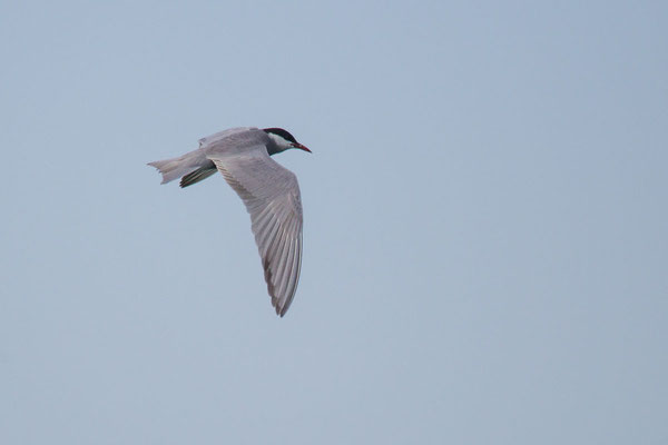 Weißbart-Seeschwalbe (Chlidonias hybrida) - 3